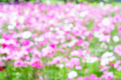 Abstract background, soft focus of color Cosmos Flowers Stock Photography