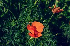 Abstract background Somniferum, the opium poppy, is a species of flowering plant in the family Papaveraceae. grown in gardens with Royalty Free Stock Photo