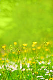 Abstract background of spring grass and flowers. Background with yellow spring flowers Royalty Free Stock Image