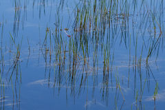 Free Abstract Background: Still Pond Reflections Of Reeds Royalty Free Stock Photos - 57120968