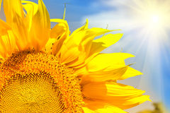 Abstract background with sunflowers over field and sunlight Stock Photography