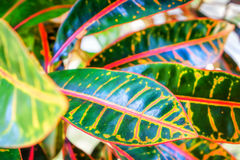 Abstract background of Thai garden. Colorful Leaves of the croton plant or Codiaeum variegatum. Selective focus Royalty Free Stock Photos