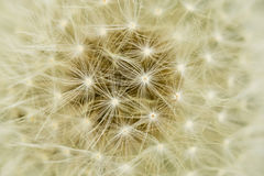 Abstract Background: The Spherical World Of A Dandelion Puffball Royalty Free Stock Photos