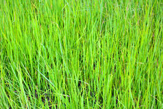 Abstract background with vivid green grass Royalty Free Stock Images