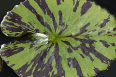 Abstract Background: Waterlily Pad Stock Photos
