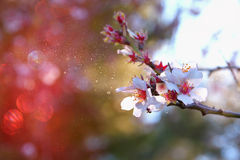 Abstract background of white cherry tree Stock Images