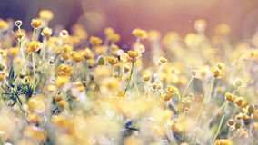 Abstract background with yellow buttercups. Royalty Free Stock Image