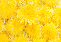 Abstract background of yellow dandelions Stock Image