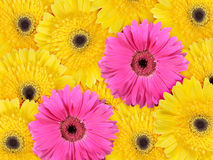 Abstract background of yellow and pink flowers Royalty Free Stock Photo