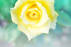 Abstract background of yellow rose. Royalty Free Stock Image