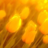 Abstract background of yellow tulips Royalty Free Stock Photo