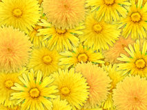 Abstract background of yelow flowers Royalty Free Stock Photography