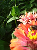 Zinnia flowers, bee macro and green leaves - abstract background. Royalty Free Stock Image