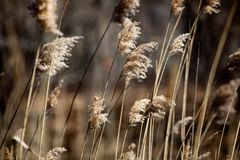 Abstract Backgrounds Conservation Spring Afternoon Brown Tall Grass. In Nature royalty free stock photos