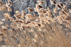 Abstract Backgrounds Conservation Spring Afternoon Brown Tall Grass. In Nature stock image