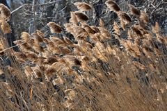 Abstract Backgrounds Conservation Spring Afternoon Brown Tall Grass. In Nature stock photography