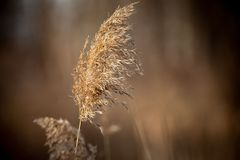 Abstract Backgrounds Conservation Spring Afternoon Brown Tall Grass Single Head. Abstract Backgrounds Conservation Spring Afternoon Brown Tall Grass in Nature stock photos