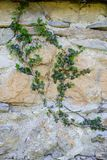 Abstract backgrounds: old lime stone wall overgrown with ivy royalty free stock photo
