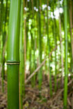 Abstract of Bamboo Forest Stock Images