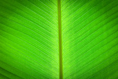 Abstract of banana leaf background Royalty Free Stock Photography