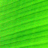 Abstract of banana leaf Stock Photography