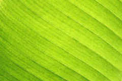 Abstract of banana leaf Stock Image