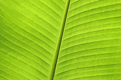 Abstract of banana leaf Royalty Free Stock Photo