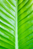 Abstract of banana leaf background Stock Image