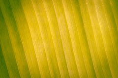 Abstract banana texture leaves. Stock Images