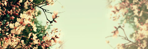 Abstract banner background of cherry tree Royalty Free Stock Image