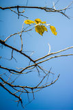Abstract bare tree branches , Blue sky Royalty Free Stock Photos