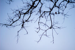 Abstract bare tree branches , Blue sky Royalty Free Stock Photography