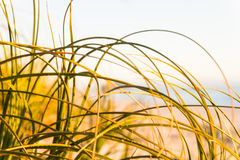 Abstract Beach grass abstract Royalty Free Stock Photo