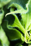 Abstract beautiful green yellow sunflower burgeon developing macro close up in blurred background Stock Photography