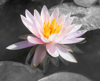 Abstract beautiful pink waterlily or lotus flower in black and w Stock Photos