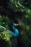 Abstract beeld met pauw onder veren Stock Afbeelding