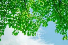 Abstract beeld van de verse groene bladeren van de bladtextuur in aard o Royalty-vrije Stock Afbeelding