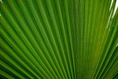 Abstract beeld van groen palmblad voor achtergrond Stock Afbeeldingen