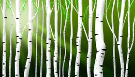 Abstract birch stems background Stock Photo