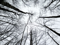 Abstract of birch trees reaching up to the sky in winter Stock Photos