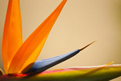 Abstract Bird of Paradise. A closeup abstract showing detail and bright colors of a Bird of Paradise blossom Royalty Free Stock Image