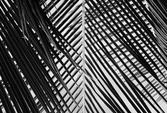 Abstract black and white beautiful palms leaf. Black and white beautiful palms leaf Stock Images