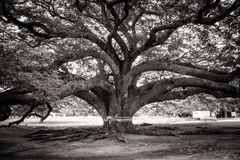 Abstract black and white image Giant tree or Jamjuree tree that landmark location of Kanjanaburi Province. Abstract black and white image Giant tree or Jamjuree Stock Images
