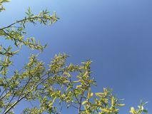 Abstract blue sky background without clouds with willow branches on the left.  stock photos