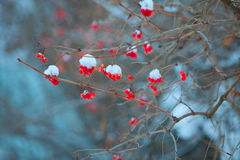 Abstract blue winter background with  berries. Abstract blue winter background with red berries Royalty Free Stock Photography