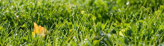 Panorama green grass with dew drops in sunlight on a  autumn mea Stock Photo