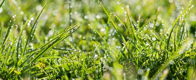 Panorama green grass with dew drops in sunlight on a spring mead Stock Image