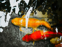 Abstract blur: gold fancy carp swim under water in aquarium with. Reflection of sunlight on water surface Stock Photos