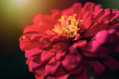 Abstract blur red Zinnia flower blooming in blurry background. For web design, biology reference Stock Photo