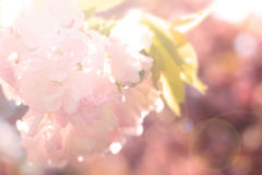 Abstract blur sakura background Royalty Free Stock Photo